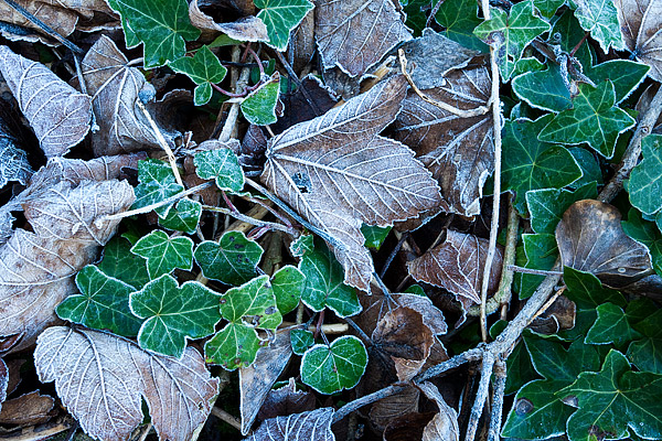 Frosted-Ivy-1