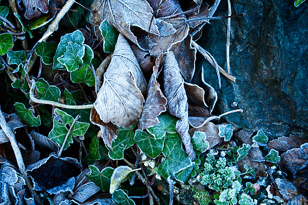 Frosted-Ivy-3